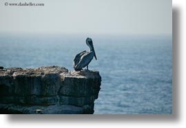 birds, brown pelican, browns, ecuador, equator, galapagos islands, horizontal, latin america, pelicans, standing, photograph