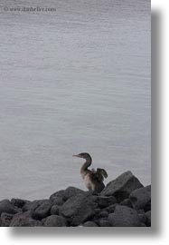 birds, cormorants, ecuador, equator, flightless, flightless cormorant, galapagos islands, latin america, vertical, photograph
