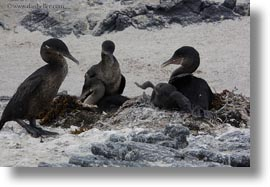 birds, cormorants, ecuador, equator, flightless, flightless cormorant, galapagos islands, horizontal, latin america, photograph