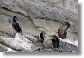 birds, cormorants, ecuador, equator, flightless, flightless cormorant, galapagos islands, horizontal, latin america, rocks, photograph