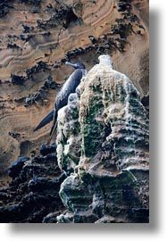 birds, ecuador, equator, frigatebirds, galapagos islands, latin america, magnificent, magnificent frigatebird, vertical, photograph