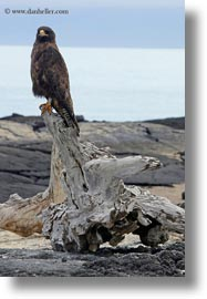 birds, ecuador, equator, galapagos, galapagos hawk, galapagos islands, hawk, latin america, vertical, photograph