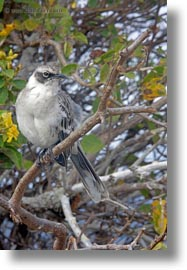 birds, ecuador, equator, galapagos, galapagos islands, galapagos mockingbird, latin america, mockingbird, vertical, photograph