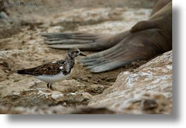 birds, ecuador, equator, galapagos, galapagos islands, galapagos mockingbird, horizontal, latin america, mockingbird, photograph