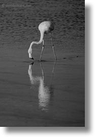 birds, black and white, ecuador, equator, flamingo, galapagos islands, greater, greater flamingo, latin america, vertical, photograph