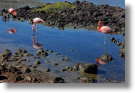 birds, ecuador, equator, flamingo, galapagos islands, greater, greater flamingo, horizontal, latin america, photograph