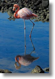 birds, ecuador, equator, flamingo, galapagos islands, greater, greater flamingo, latin america, vertical, photograph