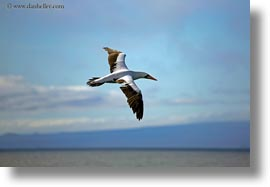 birds, boobies, broken, ecuador, equator, galapagos islands, horizontal, latin america, nazca, nazca booby, wings, photograph