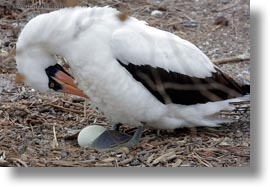 birds, boobies, ecuador, eggs, equator, galapagos islands, horizontal, latin america, nazca, nazca booby, photograph