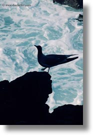 birds, ecuador, equator, galapagos islands, gull, latin america, silhouettes, swallow, tailed, tailed gull, vertical, photograph