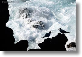 birds, ecuador, equator, galapagos islands, gull, horizontal, latin america, silhouettes, swallow, tailed, tailed gull, photograph