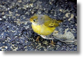 birds, ecuador, equator, galapagos islands, horizontal, latin america, warbler, womens, yellow, yellow warbler, photograph