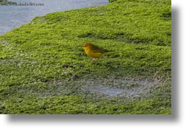 birds, ecuador, equator, galapagos islands, horizontal, latin america, male, warbler, yellow, yellow warbler, photograph