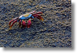 crabs, ecuador, equator, galapagos islands, horizontal, latin america, sally lightfoot, photograph