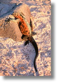 colorful, ecuador, equator, galapagos islands, iguanas, latin america, marine, marine iguana, vertical, photograph