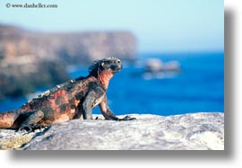 colorful, ecuador, equator, galapagos islands, horizontal, iguanas, latin america, marine, marine iguana, photograph