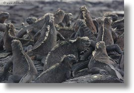 ecuador, equator, galapagos islands, groups, horizontal, iguanas, latin america, marine, marine iguana, photograph