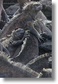 ecuador, equator, galapagos islands, groups, iguanas, latin america, marine, marine iguana, vertical, photograph