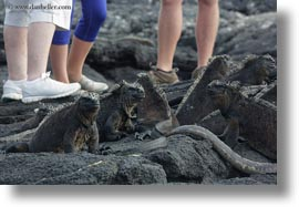 ecuador, equator, galapagos islands, horizontal, iguanas, latin america, marine, marine iguana, people, photograph