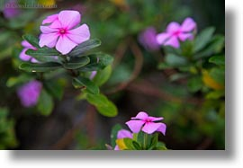 ecuador, equator, flowers, galapagos islands, horizontal, impatiens, latin america, plants, photograph