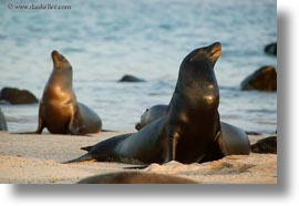 ecuador, equator, galapagos islands, horizontal, latin america, looking, looking up, sea lions, photograph