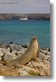 ecuador, equator, galapagos islands, latin america, looking, looking up, sea lions, vertical, photograph