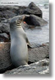ecuador, equator, galapagos islands, latin america, lions, miscellaneous, sea lions, seas, vertical, photograph