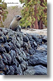 ecuador, equator, galapagos islands, latin america, lions, miscellaneous, sea lions, seas, vertical, walls, photograph