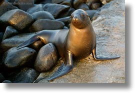 ecuador, equator, galapagos islands, horizontal, latin america, miscellaneous, sea lions, photograph
