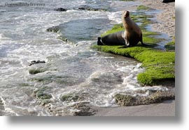 ecuador, equator, galapagos islands, horizontal, latin america, miscellaneous, sea lions, water, photograph