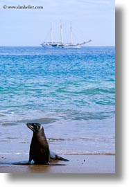 ecuador, equator, galapagos islands, latin america, miscellaneous, sea lions, vertical, water, photograph