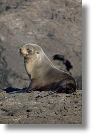 cubs, ecuador, equator, galapagos islands, latin america, sea lion cubs, sea lions, vertical, photograph