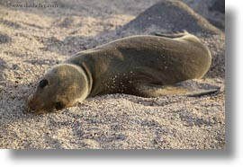 cubs, ecuador, equator, galapagos islands, horizontal, latin america, sea lion cubs, sea lions, photograph