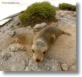 cubs, ecuador, equator, galapagos islands, latin america, sea lion cubs, sea lions, square format, photograph