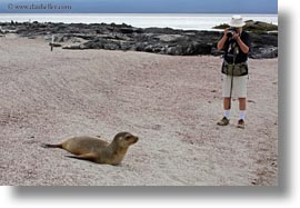 ecuador, equator, galapagos islands, horizontal, latin america, photographing, sea lions, sea lions and people, photograph
