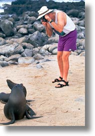 ecuador, equator, galapagos islands, latin america, photographing, sea lions, sea lions and people, vertical, photograph