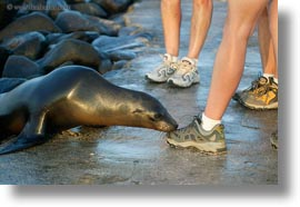 ecuador, equator, feet, galapagos islands, horizontal, latin america, sea lions, sea lions and people, photograph