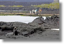 distance, ecuador, equator, galapagos islands, horizontal, latin america, people, sea lions, sea lions and people, photograph