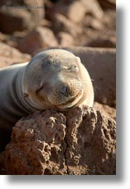 ecuador, equator, galapagos islands, latin america, sea lions, sleeping, sleeping sea lions, vertical, photograph