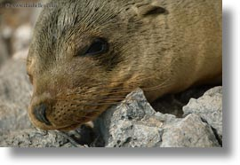 ecuador, equator, galapagos islands, horizontal, latin america, sea lions, sleeping, sleeping sea lions, photograph