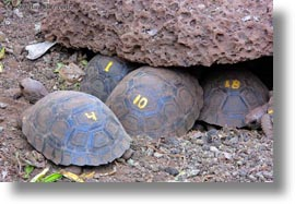 babies, darwin center, ecuador, equator, galapagos islands, horizontal, latin america, tortoises, photograph