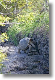darwin center, ecuador, equator, galapagos islands, latin america, tortoises, vertical, photograph
