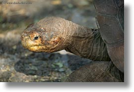 darwin center, ecuador, equator, galapagos islands, horizontal, latin america, tortoises, photograph