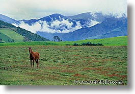 ecuador, equator, fields, highlands, horizontal, horses, latin america, photograph