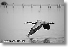estuary, flying, grey, heron, horizontal, latin america, mexico, photograph