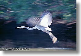 estuary, flying, heron, horizontal, latin america, mexico, photograph