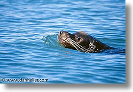 estuary, fur, horizontal, latin america, mexico, seal, photograph