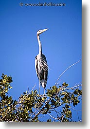 estuary, grey, heron, latin america, mexico, vertical, photograph