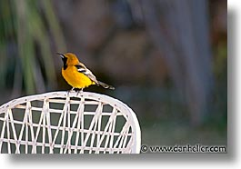 estuary, hooded, horizontal, latin america, mexico, oriole, photograph