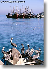 estuary, latin america, mexico, pelicans, vertical, photograph